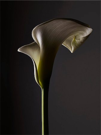 stem - A shadowed Calla Lily, close-up Stock Photo - Premium Royalty-Free, Code: 653-07233957