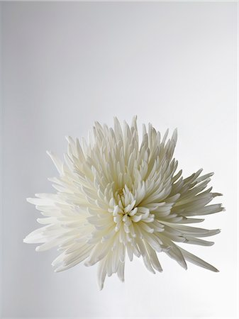 stamen - A white Chrysanthemum, close-up Stock Photo - Premium Royalty-Free, Code: 653-07233966