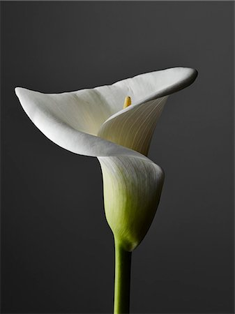 stamen - An elegant Calla Lily, close-up, gray background Stock Photo - Premium Royalty-Free, Code: 653-07233963