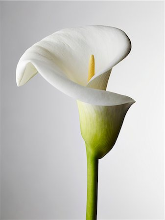 stamen - A close-up of a Calla Lily, stamen visible Stock Photo - Premium Royalty-Free, Code: 653-07233972