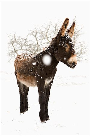 day - Donkey standing in snow Stock Photo - Premium Royalty-Free, Code: 653-07761346