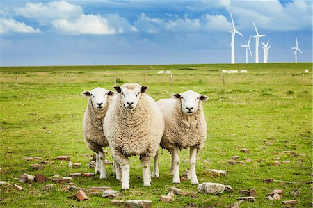 scenic - Three sheep on pasture with wind farm in background in Schleswig-Holstein, Germany Stock Photo - Premium Royalty-Free, Code: 653-07761343