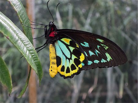 Close-up of Cairns Birdwing butterfly on leaf Stock Photo - Premium Royalty-Free, Code: 653-08126149