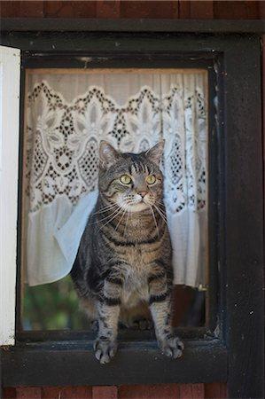 pet - Tabby sitting on window Stock Photo - Premium Royalty-Free, Code: 653-08126273