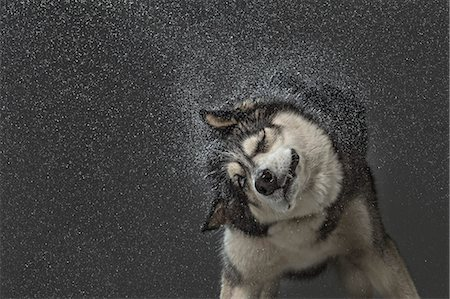 dogs in nature - Siberian Husky shaking off water over gray background Stock Photo - Premium Royalty-Free, Code: 653-08171948