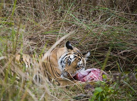 Tiger lying down in grass feeding on kill Stock Photo - Premium Royalty-Free, Code: 653-01658866