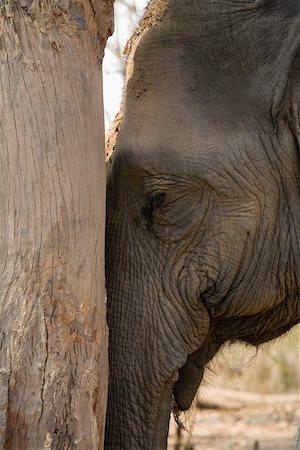 Elephant leaning against tree Stock Photo - Premium Royalty-Free, Code: 653-01658862