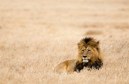 serengeti national park - A Lion Stock Photo - Premium Royalty-Free, Code: 653-01664416