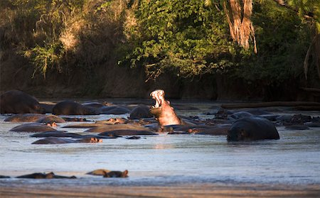 serengeti national park - Hippopotamus bathing Stock Photo - Premium Royalty-Free, Code: 653-01664411