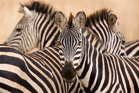 serengeti national park - A group of zebras Stock Photo - Premium Royalty-Free, Code: 653-01664420