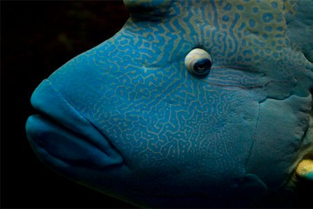 Humphead wrasse (Cheilinus undulatus) Stock Photo - Premium Royalty-Free, Code: 653-02001415