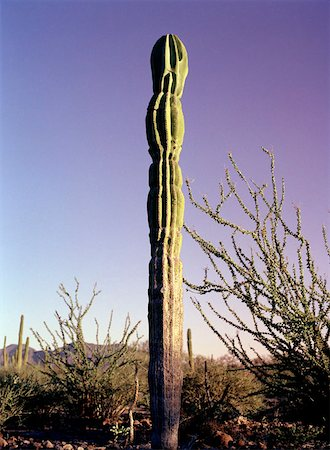 Baja California, Mexico, Latin America, Cardon Cactus (Pachycereus pringlei) & Ocotillo Cactus ( Stock Photo - Premium Royalty-Free, Code: 653-02078578