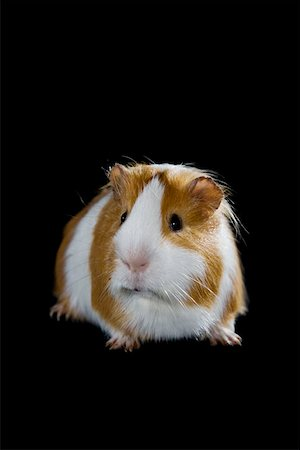 A Guinea Pig Stock Photo - Premium Royalty-Free, Code: 653-02078661