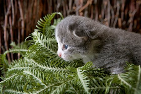 A kitten prowling through a bunch of plant leaves Stock Photo - Premium Royalty-Free, Code: 653-02078794