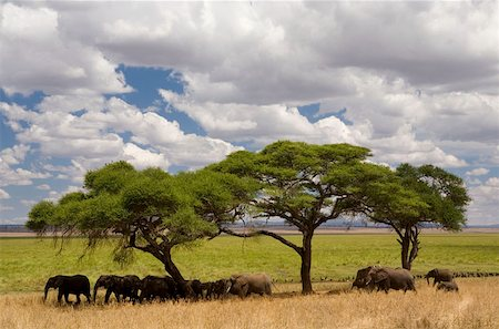 serengeti national park - A herd of elephants standing under acacia trees Stock Photo - Premium Royalty-Free, Code: 653-02078913