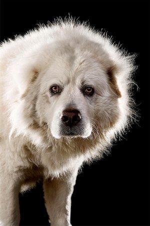 Anatolian Shepherd Dog,Portrait Stock Photo - Premium Royalty-Free, Code: 653-02260809