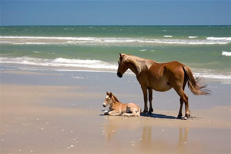 A wild Banker Pony mare and her foal,Outer Banks,North Carolina Stock Photo - Premium Royalty-Free, Code: 653-02260917