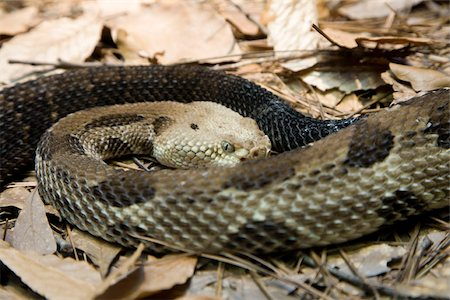 poison - A rattlesnake Stock Photo - Premium Royalty-Free, Code: 653-03078819
