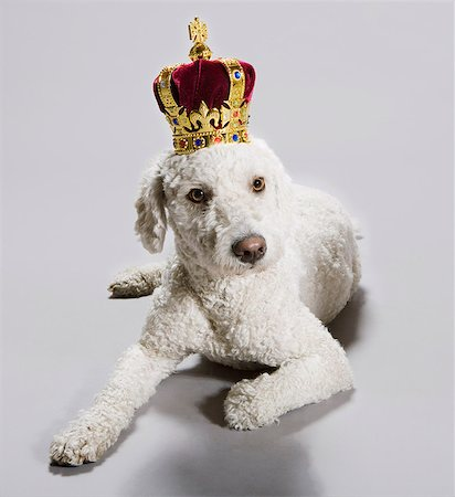 A Portuguese Waterdog wearing a crown Stock Photo - Premium Royalty-Free, Code: 653-03459897