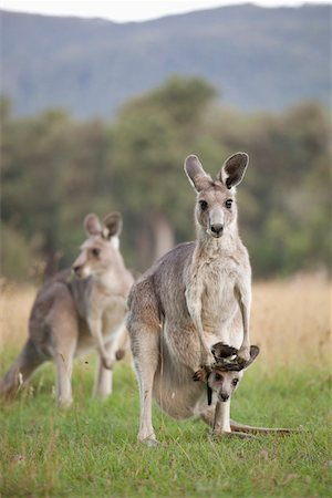 Three Kangaroos in a field Stock Photo - Premium Royalty-Free, Code: 653-03843376