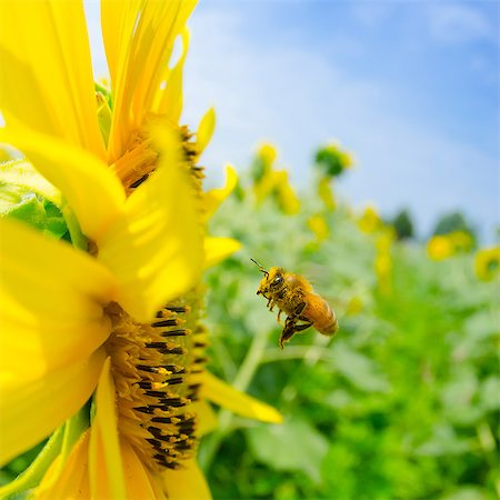 Sunflower and bees and blue sky Stock Photo - Premium Royalty-Free, Code: 669-07845747