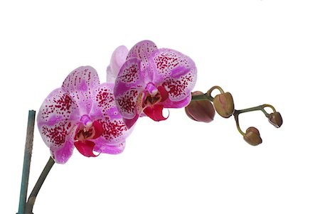stem - Purple Orchid Stock Photo - Premium Royalty-Free, Code: 679-04249805