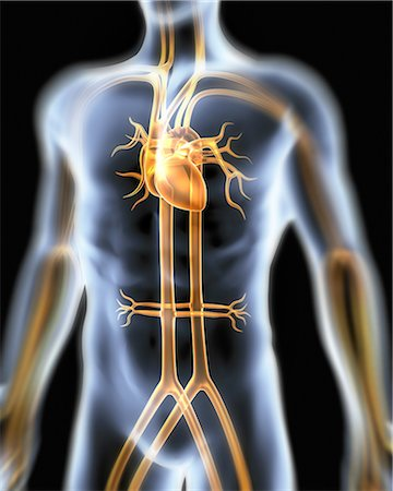 Human cardiovascular system, artwork Stock Photo - Premium Royalty-Free, Code: 679-05797780