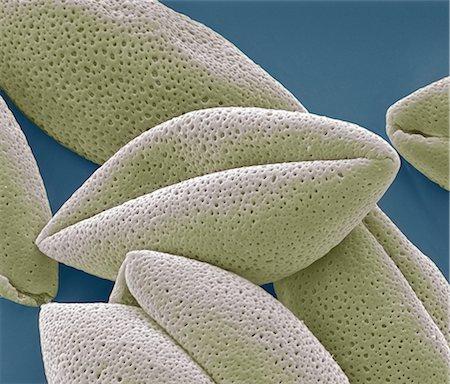 Asparagus pollen grains, SEM Stock Photo - Premium Royalty-Free, Code: 679-05797869