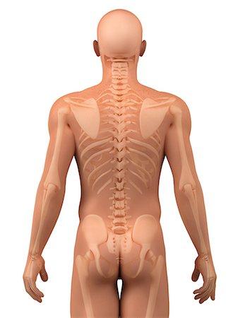 Upper body bones, artwork Stock Photo - Premium Royalty-Free, Code: 679-05798125
