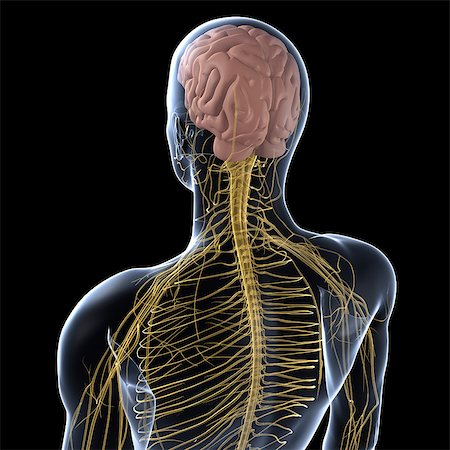 rear - Human nervous system, artwork Stock Photo - Premium Royalty-Free, Code: 679-05798195