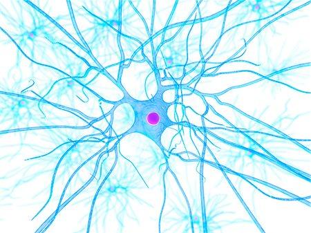 Nerve cell, artwork Stock Photo - Premium Royalty-Free, Code: 679-05798215