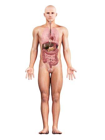Male anatomy, artwork Stock Photo - Premium Royalty-Free, Code: 679-05798324