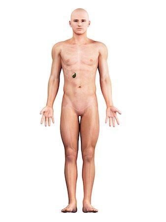 Healthy gallbladder, artwork Stock Photo - Premium Royalty-Free, Code: 679-05798335