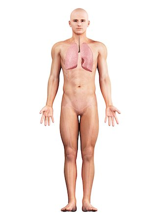 Healthy lungs, artwork Stock Photo - Premium Royalty-Free, Code: 679-05798331