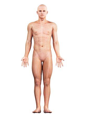 Healthy thyroid, artwork Stock Photo - Premium Royalty-Free, Code: 679-05798333