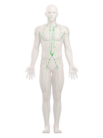 Lymphatic system, artwork Stock Photo - Premium Royalty-Free, Code: 679-05798492