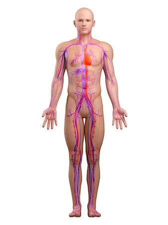 Cardiovascular system, artwork Stock Photo - Premium Royalty-Free, Code: 679-05798530
