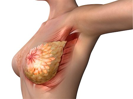 Breast anatomy, artwork Stock Photo - Premium Royalty-Free, Code: 679-05798627