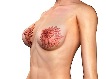 Breast anatomy, artwork Stock Photo - Premium Royalty-Free, Code: 679-05798630