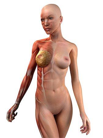 Female muscles, artwork Stock Photo - Premium Royalty-Free, Code: 679-05798677