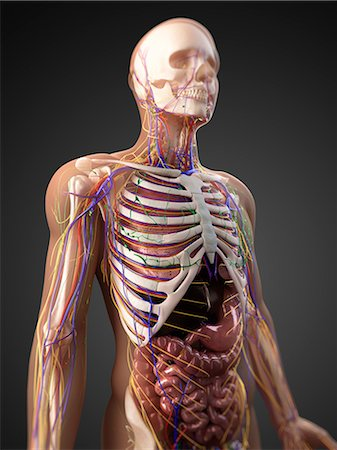 Human anatomy, artwork Stock Photo - Premium Royalty-Free, Code: 679-05798715