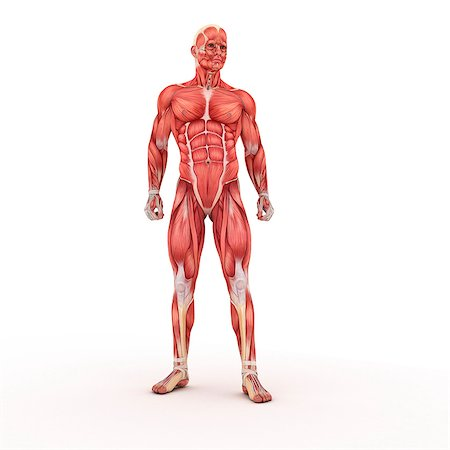 Male muscles, artwork Stock Photo - Premium Royalty-Free, Code: 679-05798713