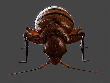 Bedbug, artwork Stock Photo - Premium Royalty-Free, Code: 679-05798838