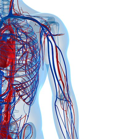 Cardiovascular system, computer artwork. Stock Photo - Premium Royalty-Free, Code: 679-05994138