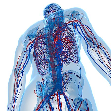 Cardiovascular system, computer artwork. Stock Photo - Premium Royalty-Free, Code: 679-05994145