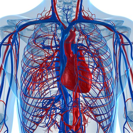 Cardiovascular system, computer artwork. Stock Photo - Premium Royalty-Free, Code: 679-05994199