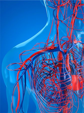 Cardiovascular system, computer artwork. Stock Photo - Premium Royalty-Free, Code: 679-05994341