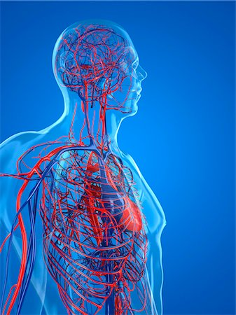Cardiovascular system, computer artwork. Stock Photo - Premium Royalty-Free, Code: 679-05994367