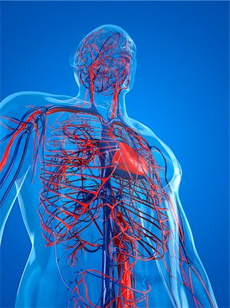 Cardiovascular system, computer artwork. Stock Photo - Premium Royalty-Free, Code: 679-05994379