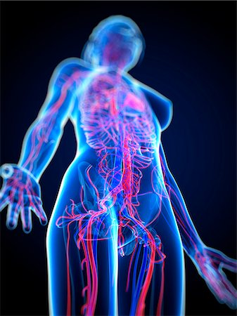 Cardiovascular system, computer artwork. Stock Photo - Premium Royalty-Free, Code: 679-05994497